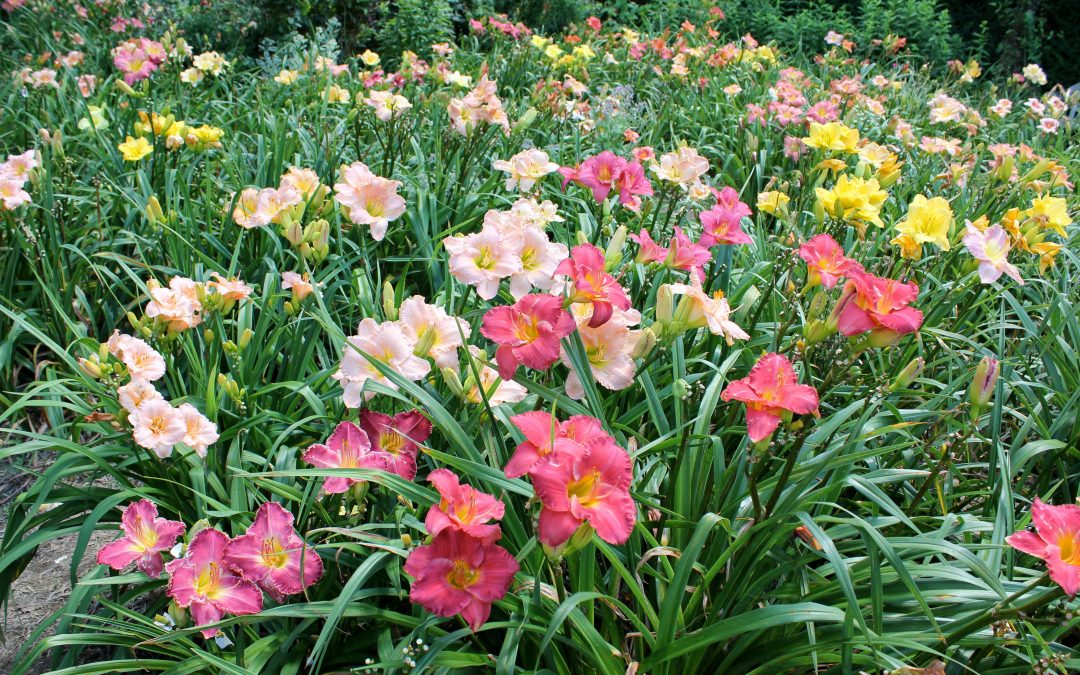Daylilies – June Superstar